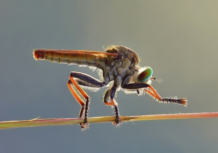 salam kenal..robber fly