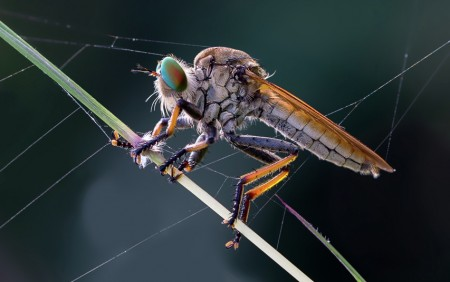 nglangut..robber fly