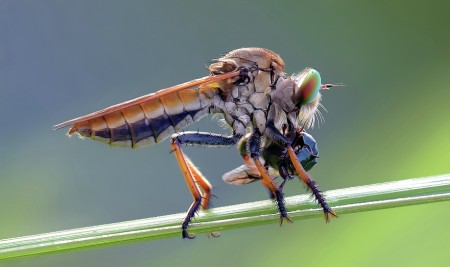 m.t.#2..red robber fly